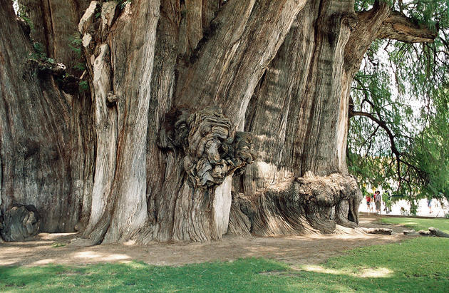 arbol-del-tule-widest-tree-trunk-in-the-world3